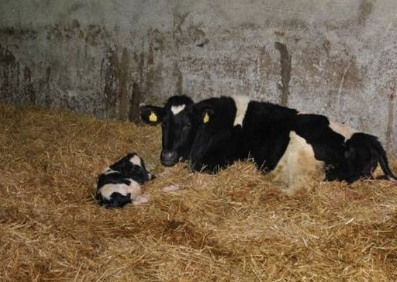 Subclinical Milk Fever A Potential Hidden Loss For Dairy Herds Farming Life