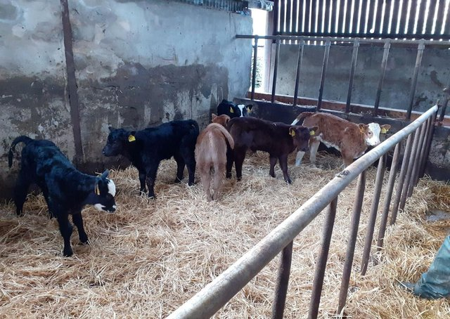 Calf creep being used to break the cow/calf bond