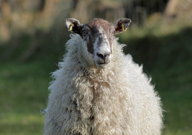 Springtime sheep. Picture: Cliff Donaldson