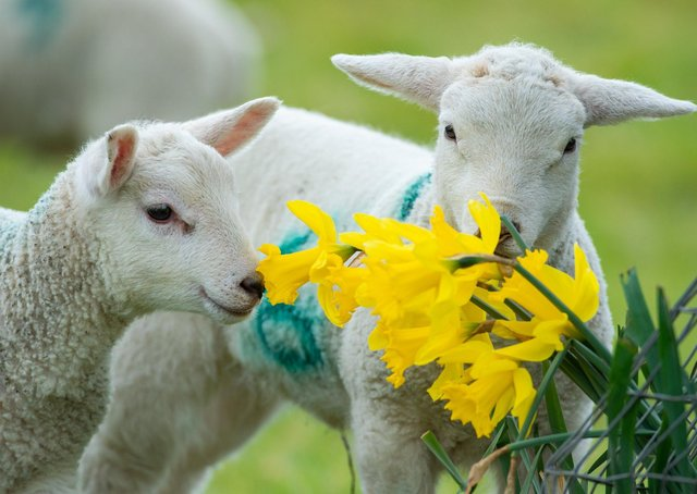 Lambs are a familiar sight at this time of year