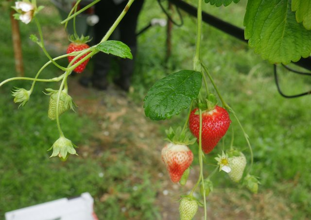 Soft fruit harvest is fast approaching and there may be opportunities to work in this sector in the coming weeks