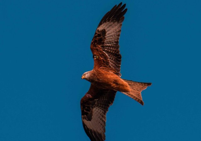 A red kite soaring over Co Down this year. Credit: Mark Douglas