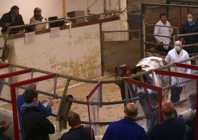 Securing the lead price of 3000 guineas at the Beef Shorthorn sale was this entry from D&E McNulty.