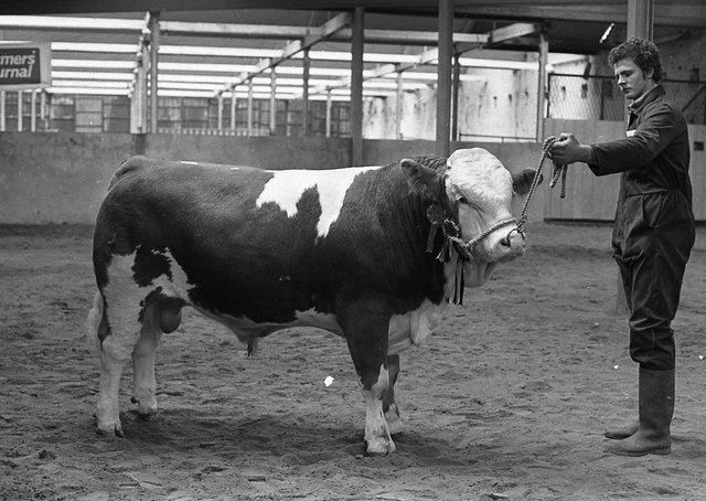 The Simmental bull of Robert Gamble, Bangor, which was awarded the 'Bull of the Day' championship at the Automart Spring Show and Sale at Portadown in April 1980. Picture: Farming Life archives