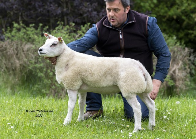 Stuart Wood with Woodies Gorgeous Girl ET which shared top price of 1600gns at the 'Beltex Belles' sale in Carlisle.