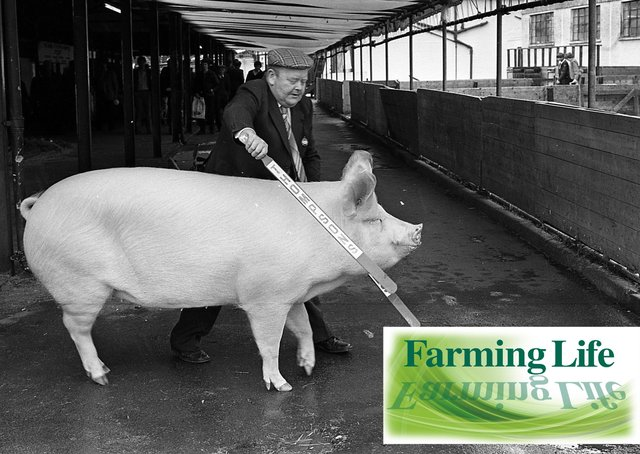 Hubert Gabbie of Crossgar, Co Down, with his top prize-winning Large White pig at the Balmoral Show in May 1981. He is pictured here with his supreme champion. Picture: Farming Life archives
