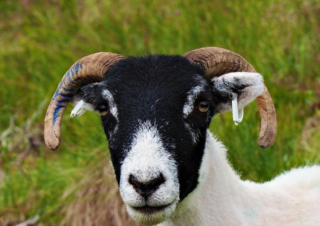 The winning project recommended setting up a goat co-operative in the north east of Scotland