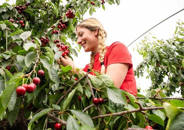 Cherry picker Steliyana Cherneva picks the first cherries of the season at AC Hulme & Sons near Canterbury.