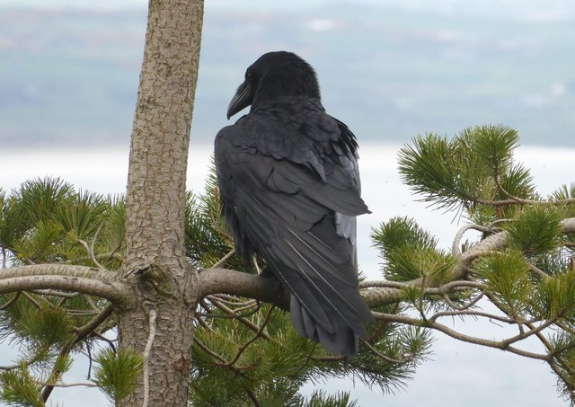The fledging of three raven chicks from their nest in Thomas's Mountain just weeks after the Mournes wildfire shows the incredible resilience of nature. Picture: National Trust/Andy Carden