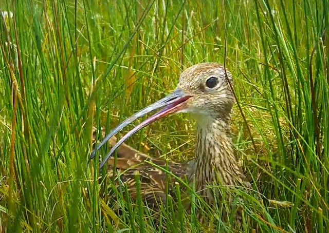 RSPB NI, the leading conservation charity, is bringing us a dose of nature and shining a spotlight on one of Northern Ireland's most endangered species, the curlew, through its latest webcam project, Curlew LIVE