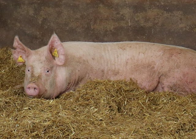 Pigs on Norman Robson's farm, Doagh. Picture: Cliff Donaldson