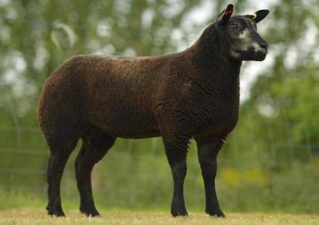 Tara Williamson's , Blue texel ewe lamb selling for 1050gns