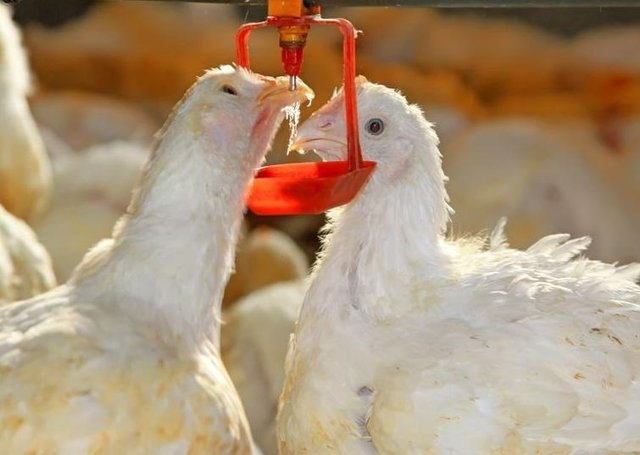 18895118 - two chickens are drinking water, in a chicken farm, north china