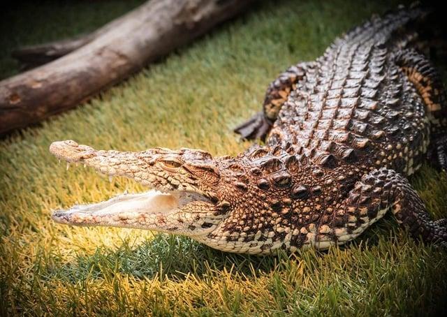 Steve the Nile Crocodile at C&J's Animal Park near Portadown.