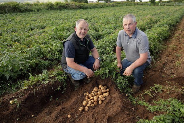 Harvesting new season Home Guard potatoes on Adrian and Nigel Jamisons farm near Ballycastle. Picture: Cliff Donaldson