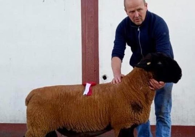 1st Prize shearling ram from Brian Dickson sold for 780gns